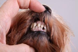 zahnstein hund  Mission- endlich gesunde Tierzähne! zahnstein hund 3 300x200
